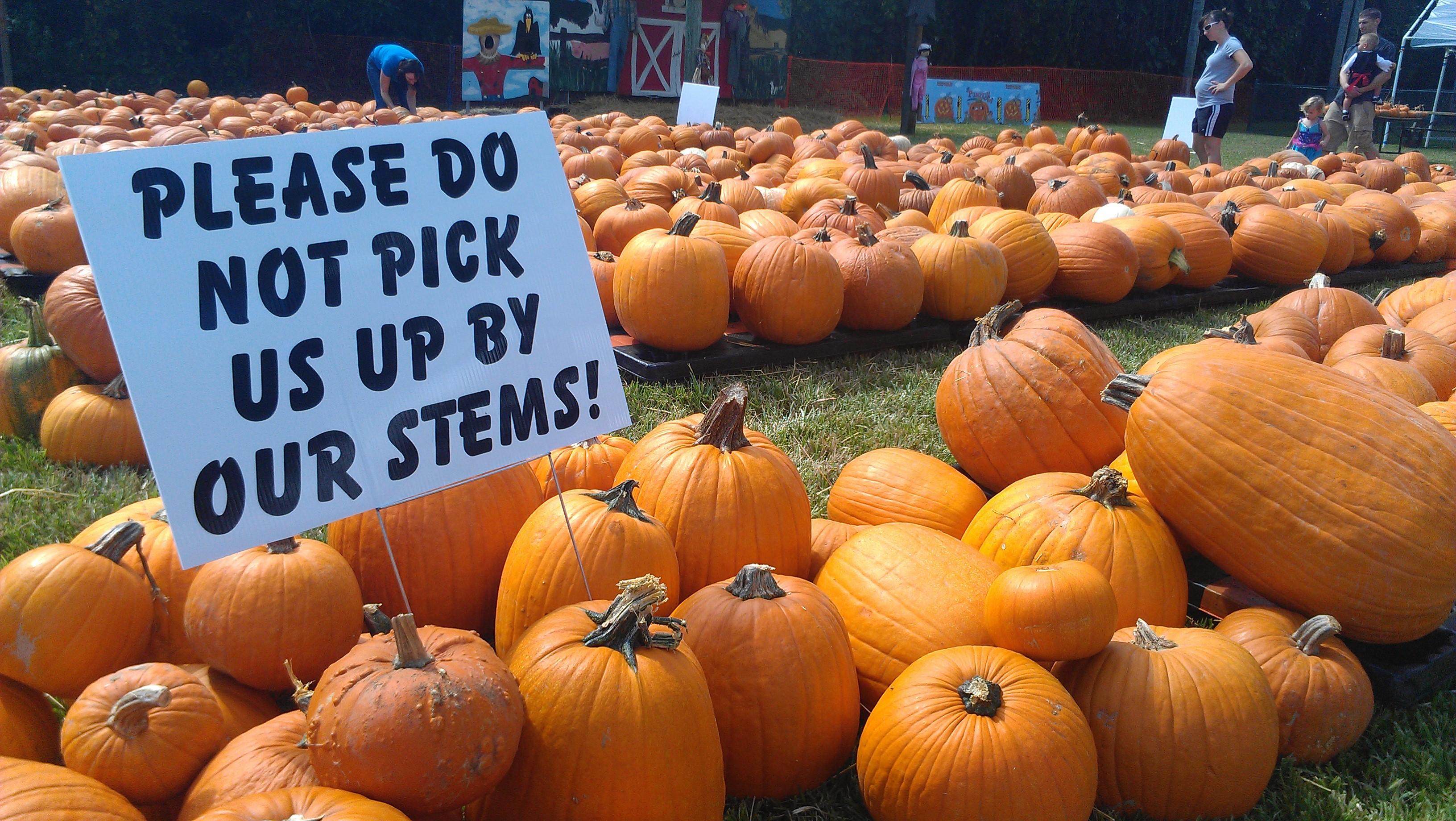 Halloween é época de pumpkins (abóboras).